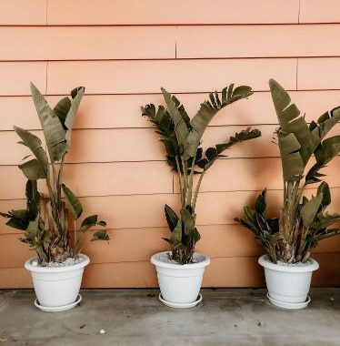 winterharde-palm